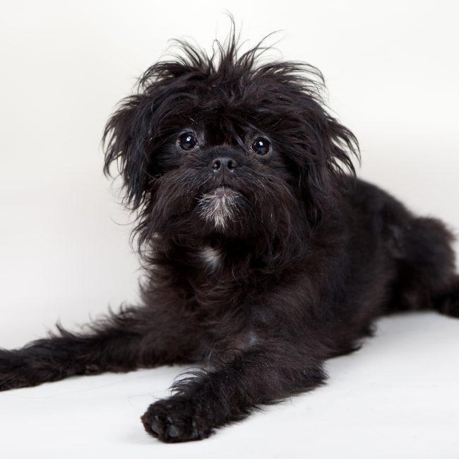 Cão: Affenpinscher