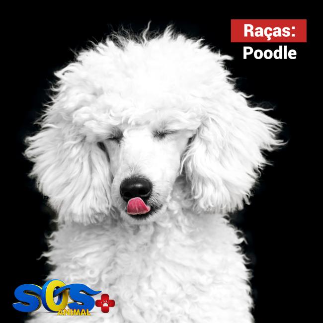 Todos os Poodles precisam de muita interação com as pessoas.