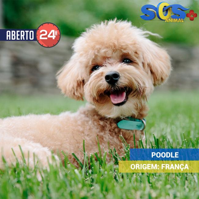 O Poodle é uma das raças mais populares do Brasil e uma das mais requisitadas no mundo, originário da França. O Poodle é uma raça recomendada tanto para casais, quanto para famílias com crianças. Sua expectativa de vida é de no mínimo 14 anos e no máximo 18 anos.